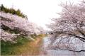 亀の甲池の桜